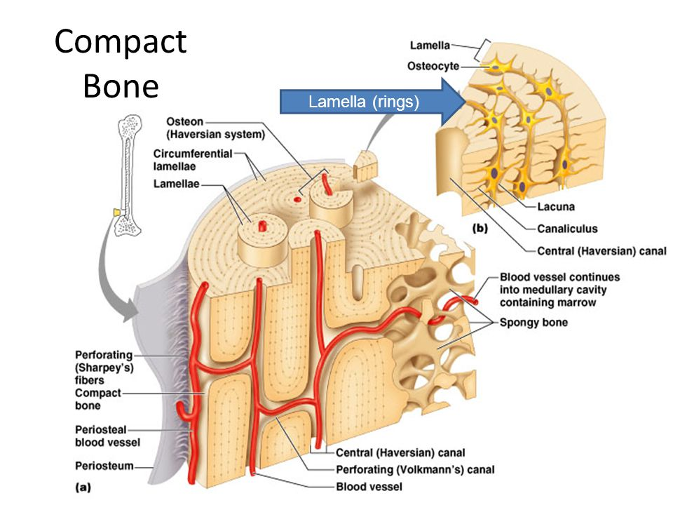Long Bone Anatomy Diaphysis Shaft Of The Bone Made Of Compact Bone