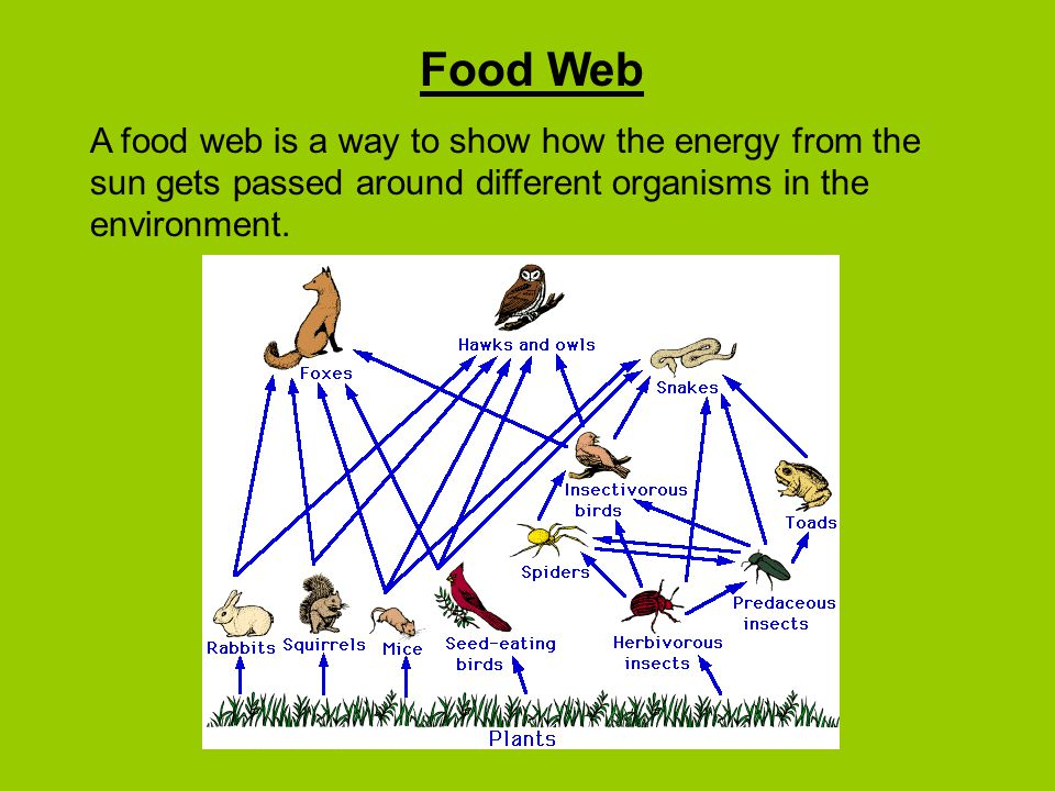 Food Web A food web is a way to show how the energy from the sun gets passed around different organisms in the environment.