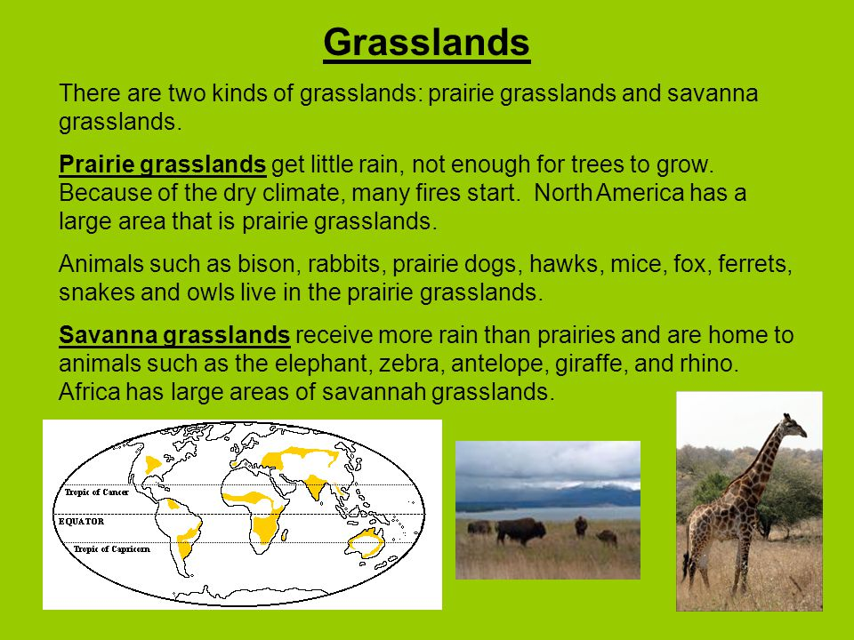 Grasslands There are two kinds of grasslands: prairie grasslands and savanna grasslands.