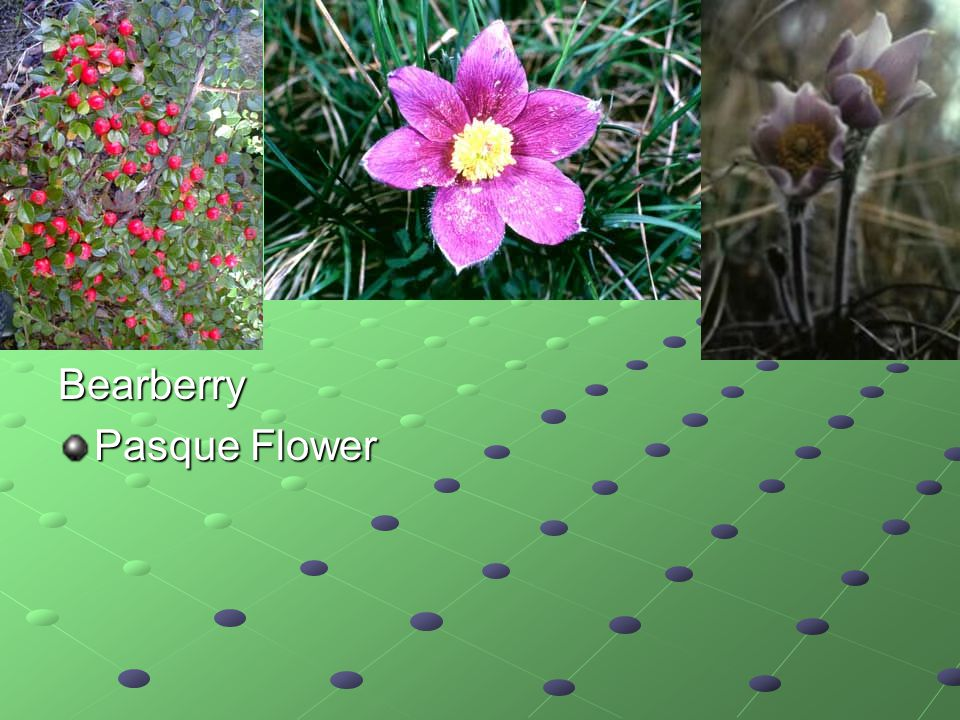 Bearberry Pasque Flower