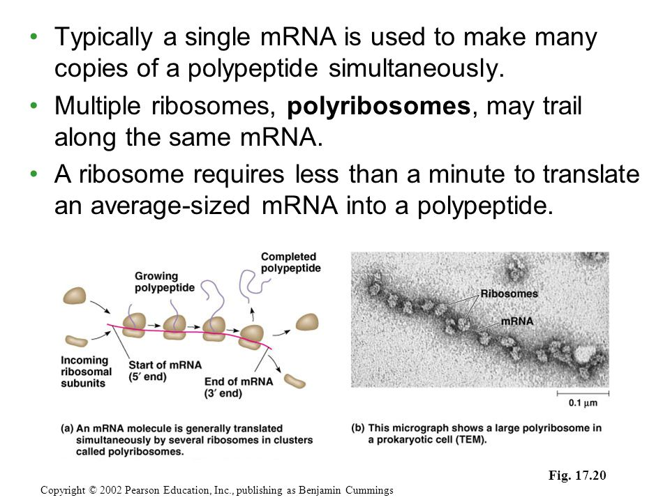 Multiple ribosomes, polyribosomes, may trail along the same mRNA.