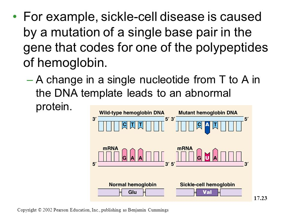 For example, sickle-cell disease is caused by a mutation of a single base pair in the gene that codes for one of the polypeptides of hemoglobin.