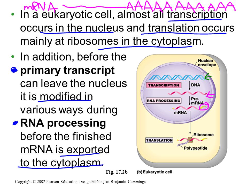 In a eukaryotic cell, almost all transcription occurs in the nucleus and translation occurs mainly at ribosomes in the cytoplasm.