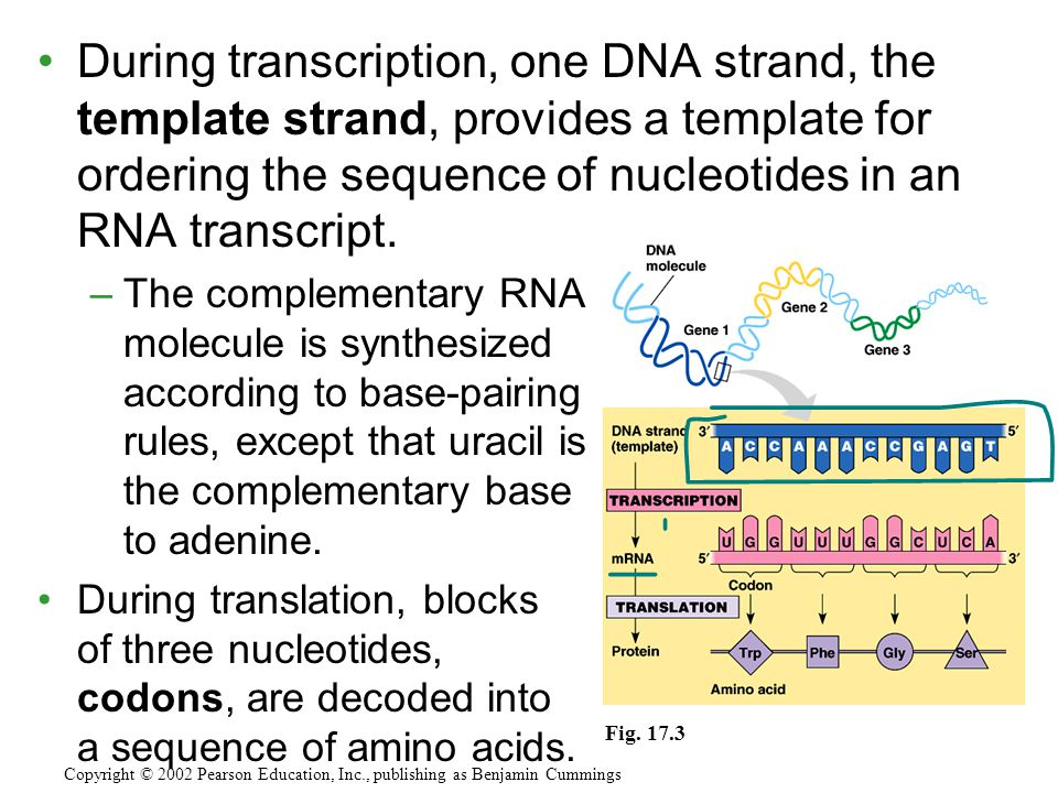 During transcription, one DNA strand, the template strand, provides a template for ordering the sequence of nucleotides in an RNA transcript.