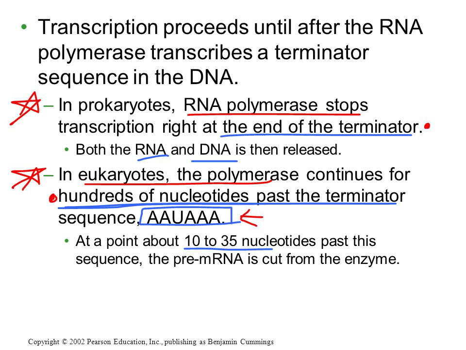 Transcription proceeds until after the RNA polymerase transcribes a terminator sequence in the DNA.