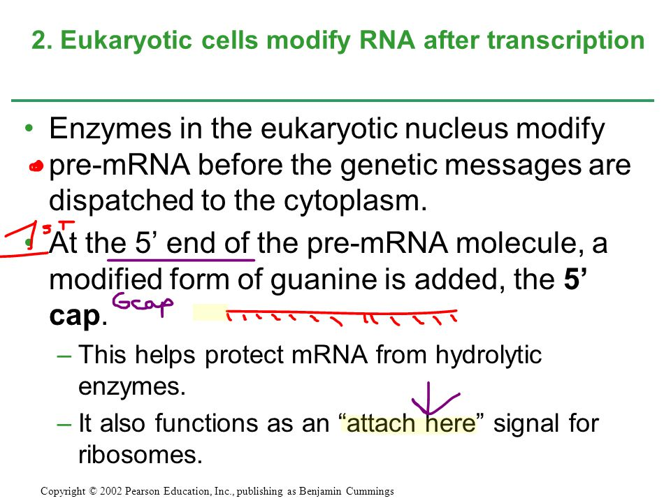 2. Eukaryotic cells modify RNA after transcription