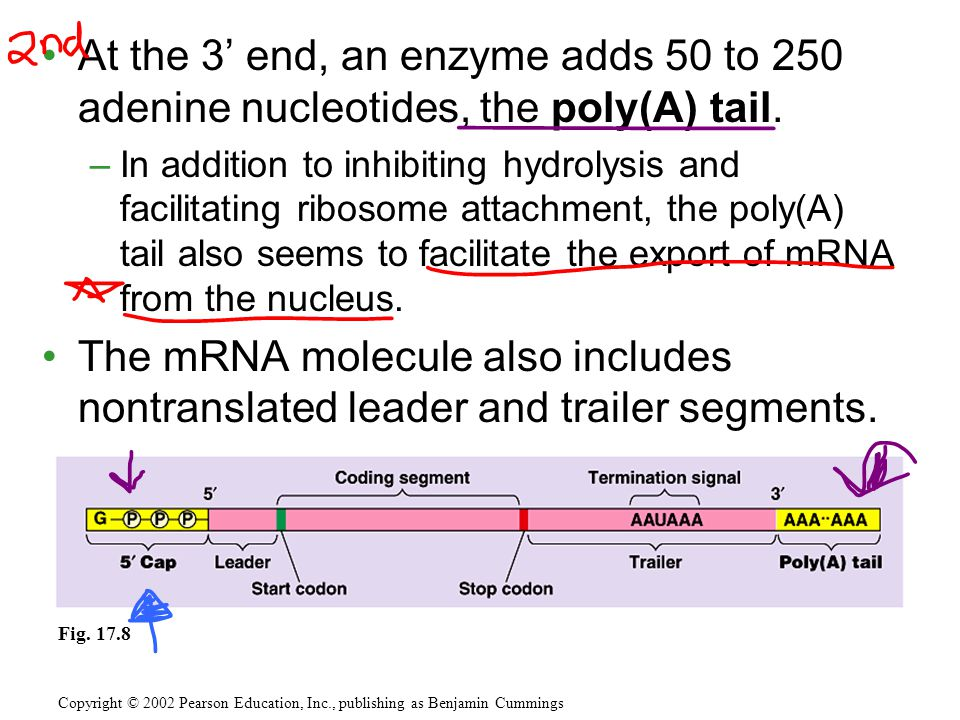 At the 3' end, an enzyme adds 50 to 250 adenine nucleotides, the poly(A) tail.