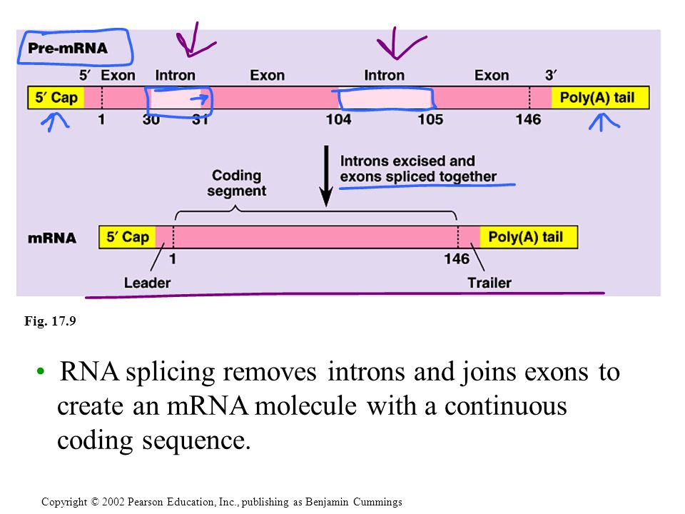 Fig. 17.9 RNA splicing removes introns and joins exons to create an mRNA molecule with a continuous coding sequence.