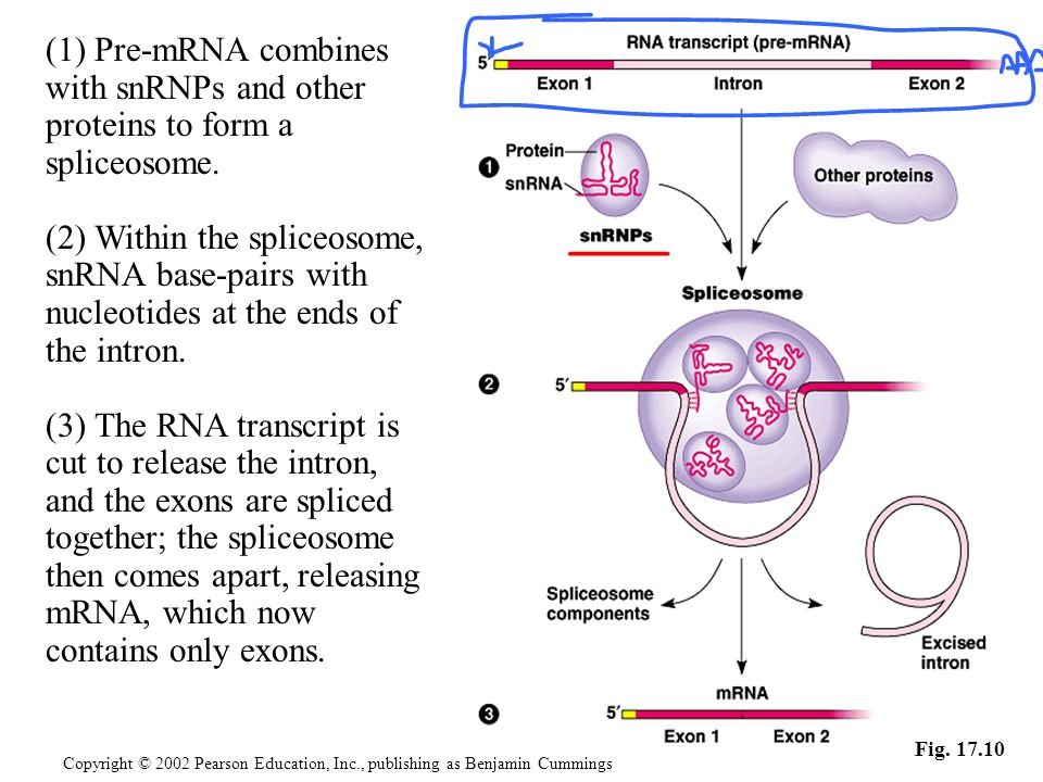 (2) Within the spliceosome,