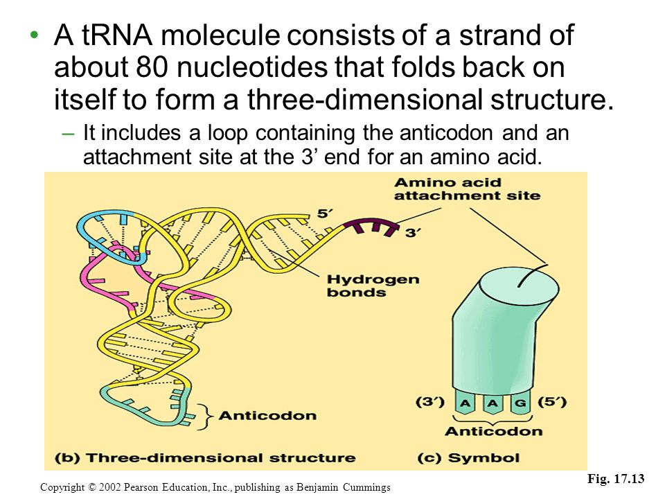 A tRNA molecule consists of a strand of about 80 nucleotides that folds back on itself to form a three-dimensional structure.