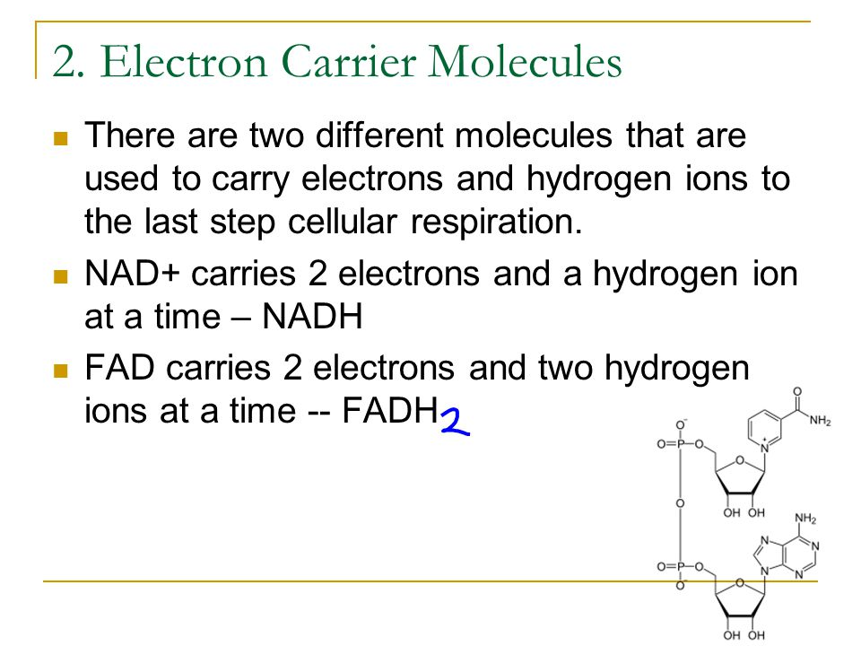 2. Electron Carrier Molecules