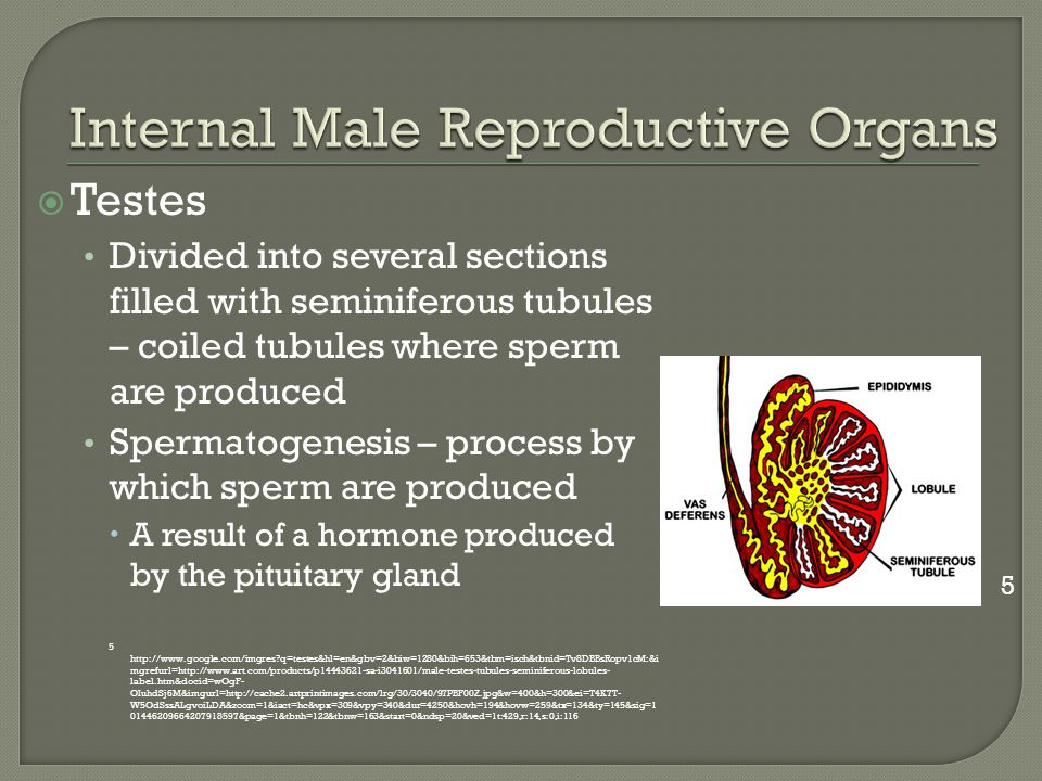 Internal Male Reproductive Organs