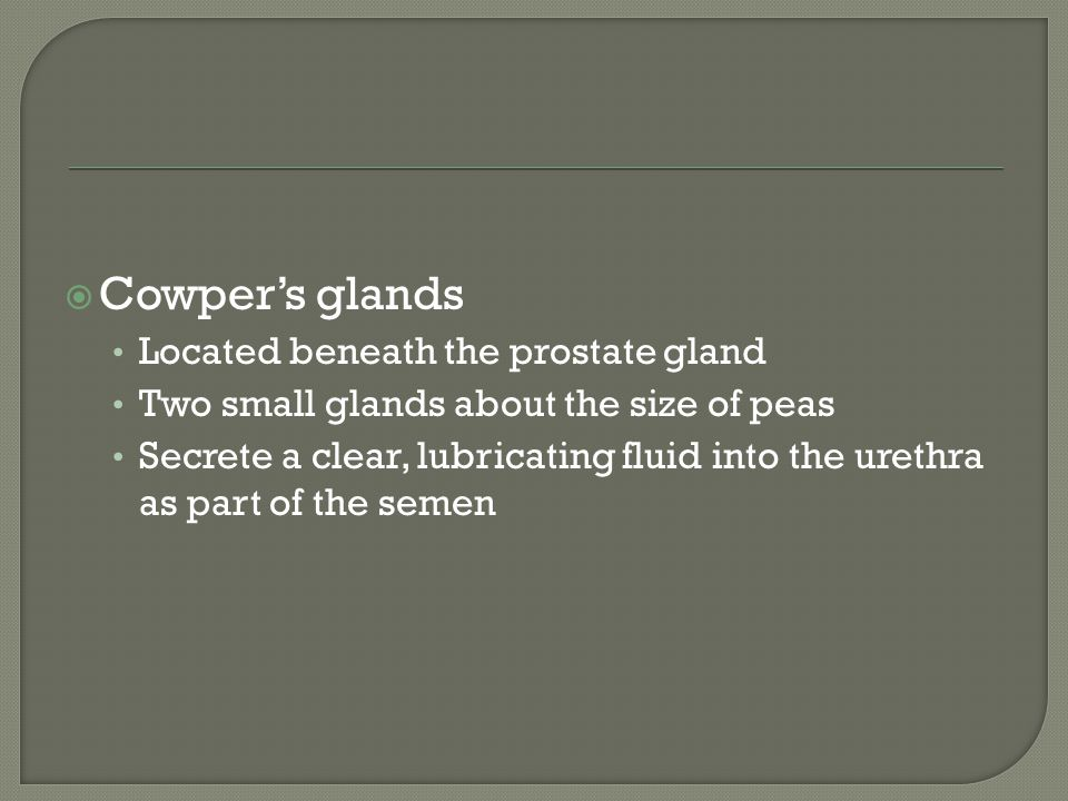 Cowper's glands Located beneath the prostate gland