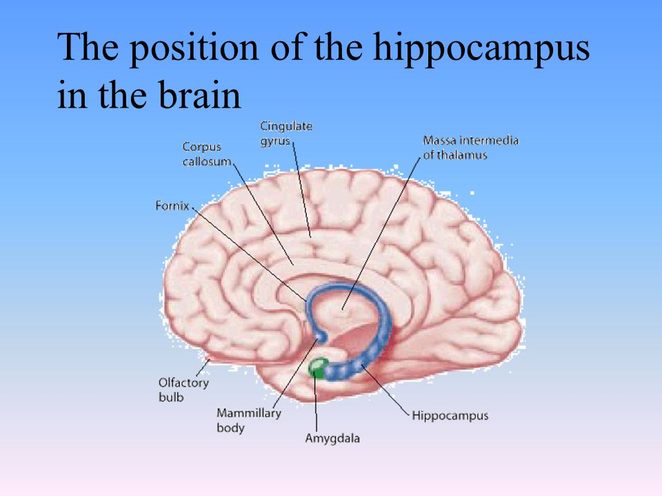 The position of the hippocampus in the brain