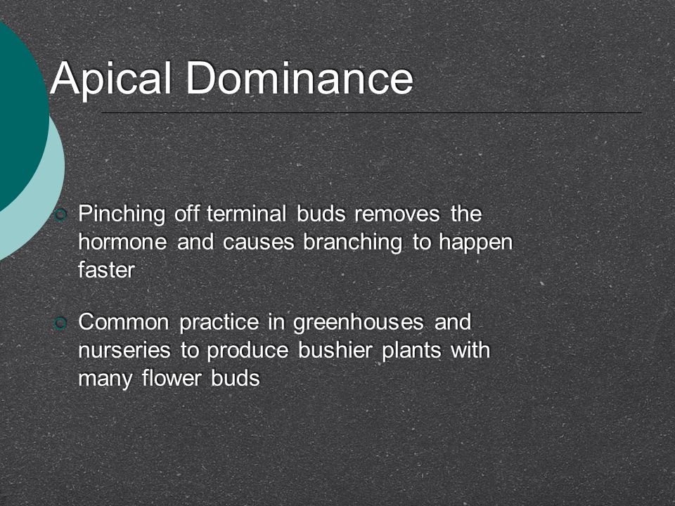 Apical Dominance Pinching off terminal buds removes the hormone and causes branching to happen faster.