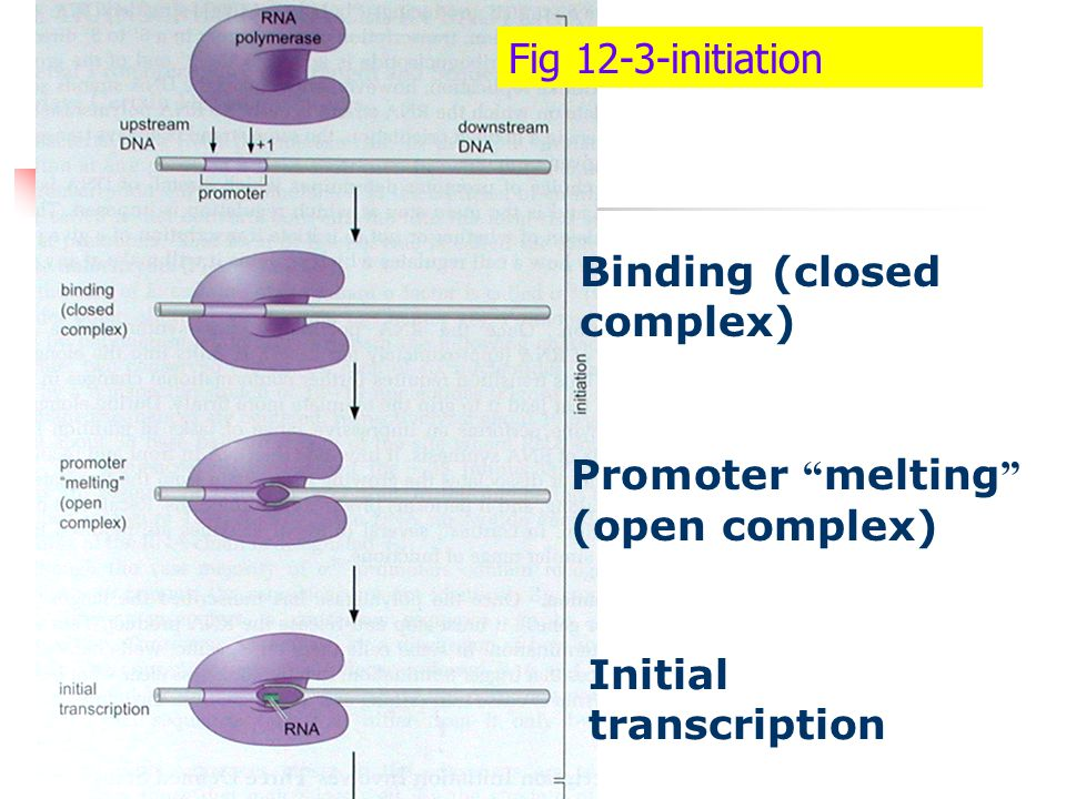 Fig 12-3-initiation Binding (closed complex) Promoter melting (open complex) Initial transcription.