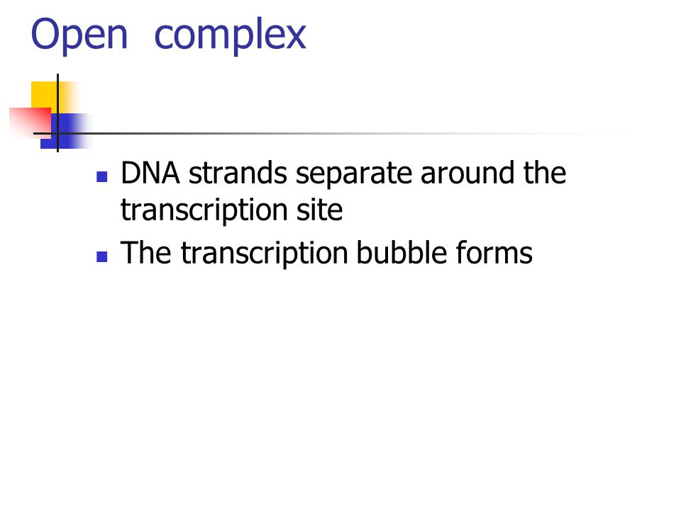 Open complex DNA strands separate around the transcription site