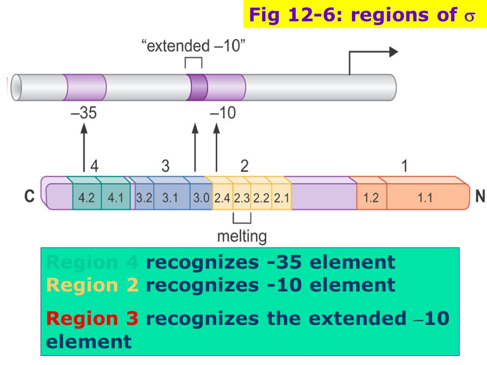 Fig 12-6: regions of s Region 4 recognizes -35 element Region 2 recognizes -10 element.
