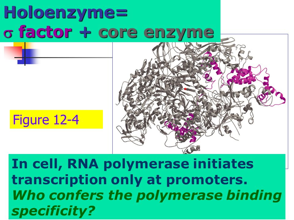 Holoenzyme= factor + core enzyme Figure 12-4