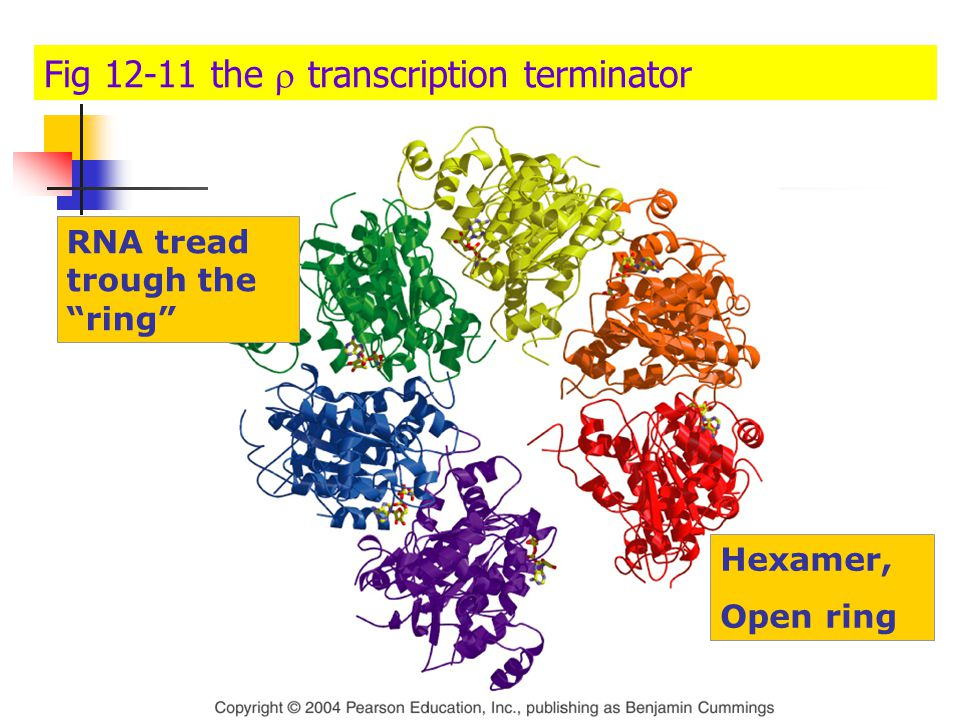 Fig 12-11 the r transcription terminator
