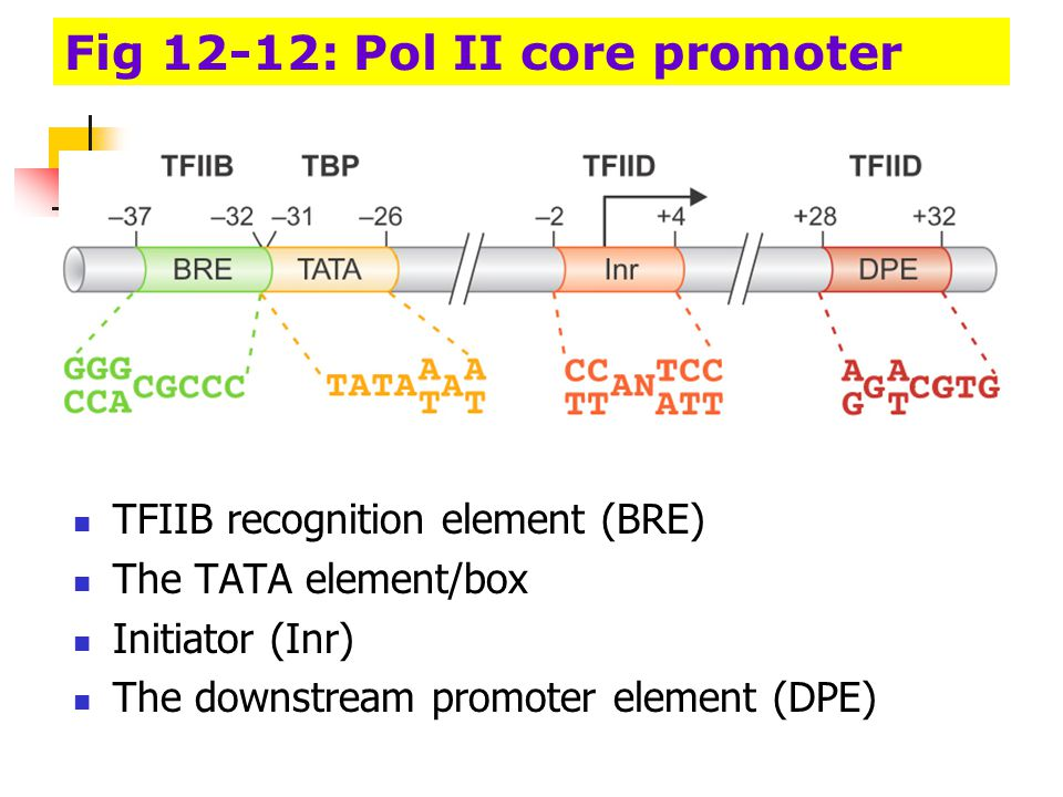 Fig 12-12: Pol II core promoter
