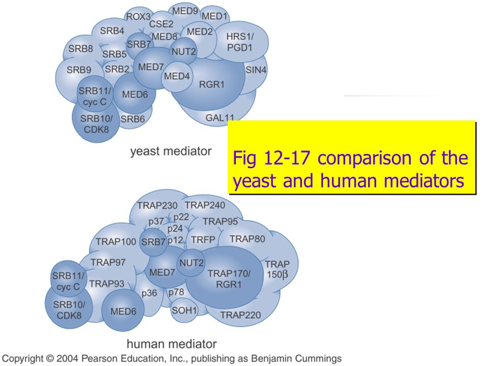 Fig 12-17 comparison of the yeast and human mediators