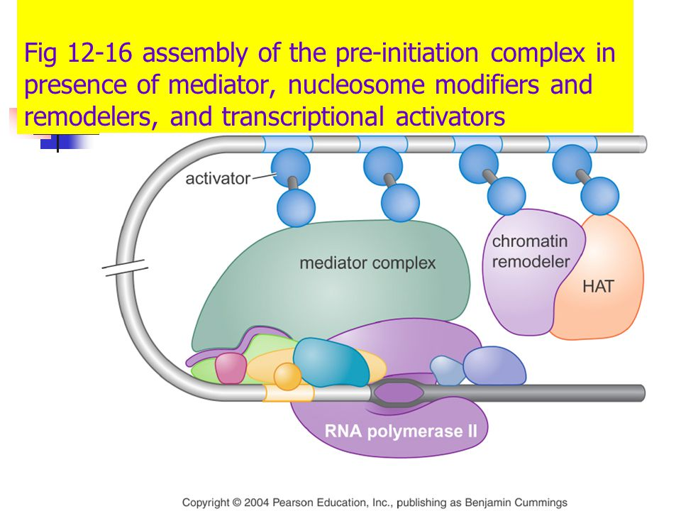 Fig 12-16 assembly of the pre-initiation complex in presence of mediator, nucleosome modifiers and remodelers, and transcriptional activators