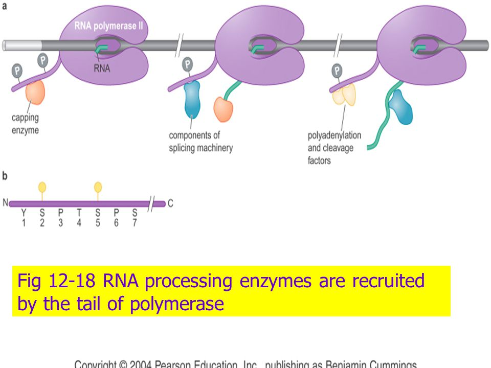Fig 12-18 RNA processing enzymes are recruited by the tail of polymerase