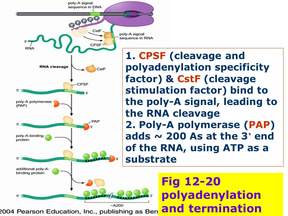 Fig 12-20 polyadenylation and termination