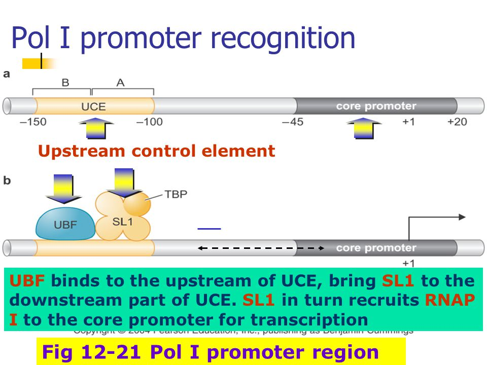 Pol I promoter recognition