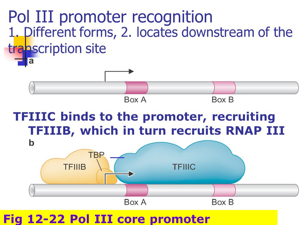 Pol III promoter recognition 1. Different forms, 2