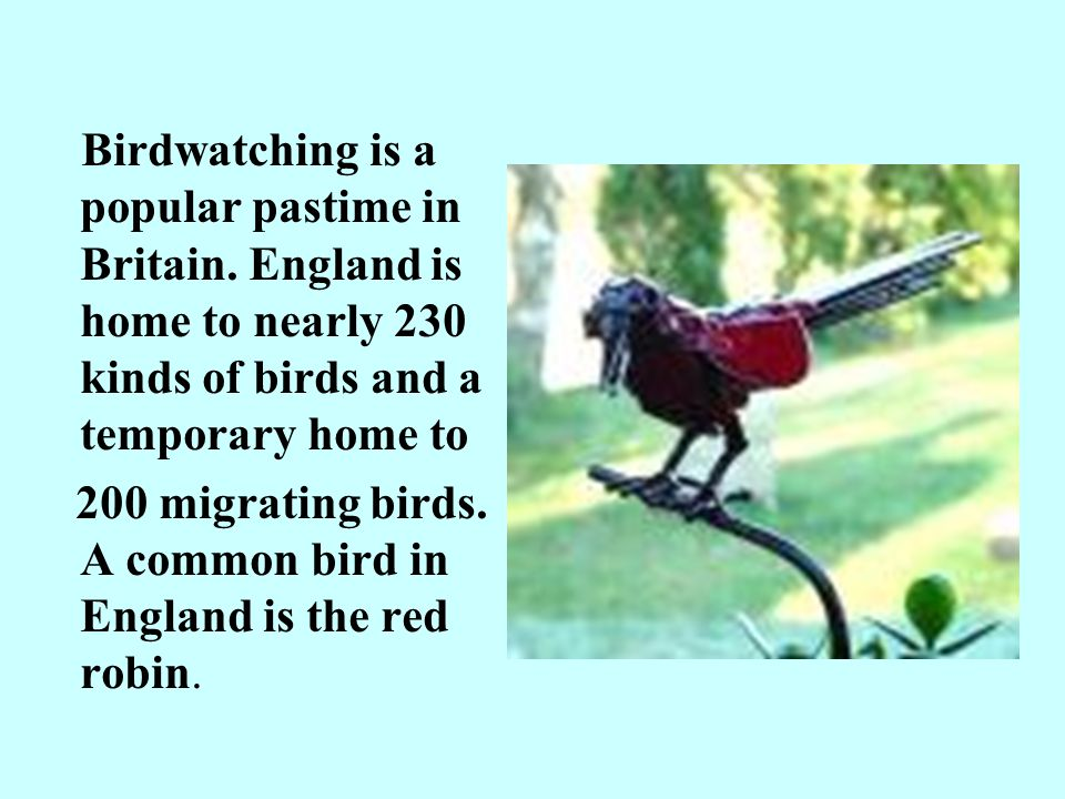 200 migrating birds. A common bird in England is the red robin.