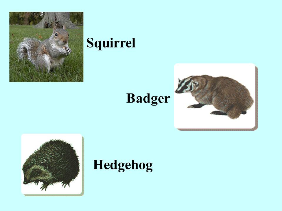 Squirrel Badger Hedgehog