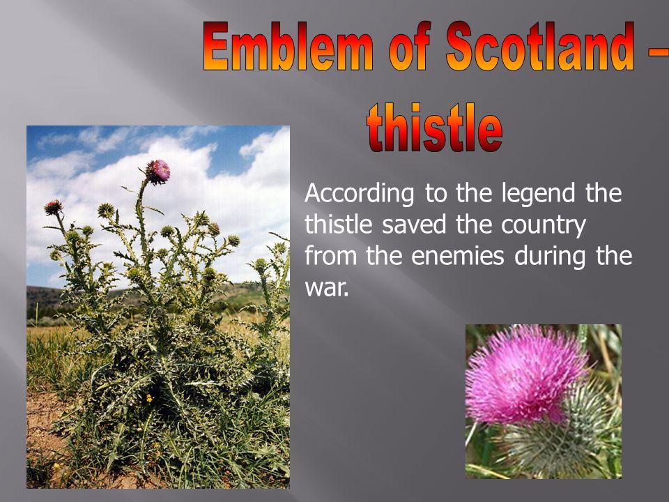 Emblem of Scotland – thistle