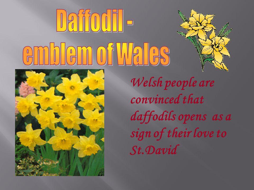 Daffodil - emblem of Wales.