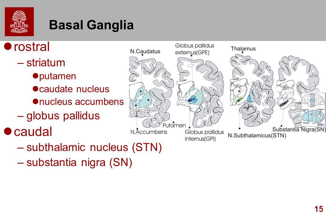 Basal Ganglia rostral caudal striatum globus pallidus