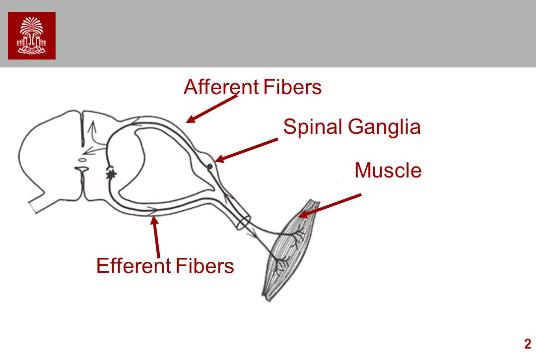 Afferent Fibers Spinal Ganglia Muscle Efferent Fibers