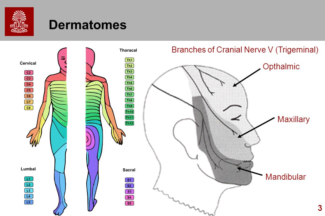 Dermatomes Branches of Cranial Nerve V (Trigeminal) Opthalmic