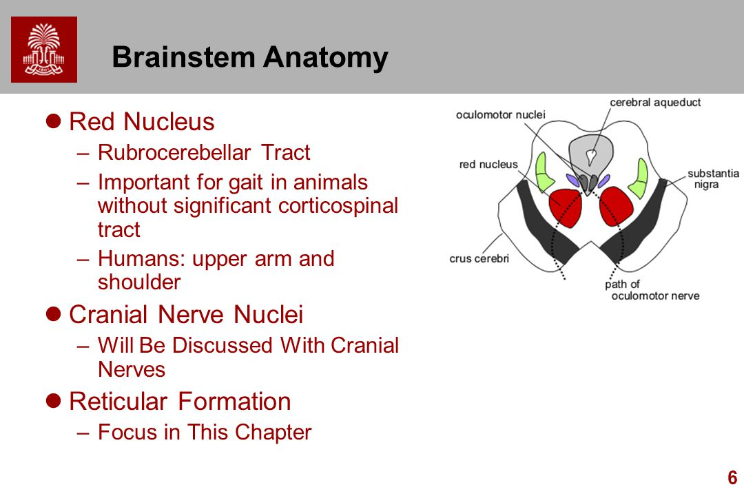 Brainstem Anatomy Red Nucleus Cranial Nerve Nuclei Reticular Formation