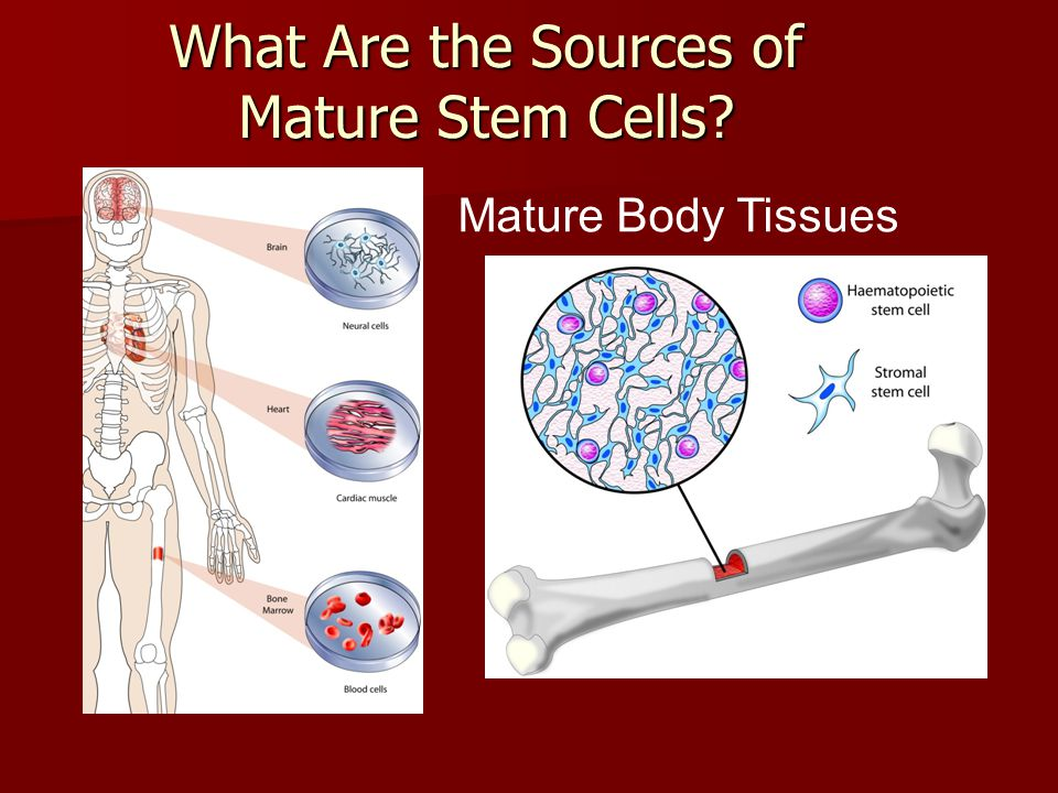 What Are the Sources of Mature Stem Cells