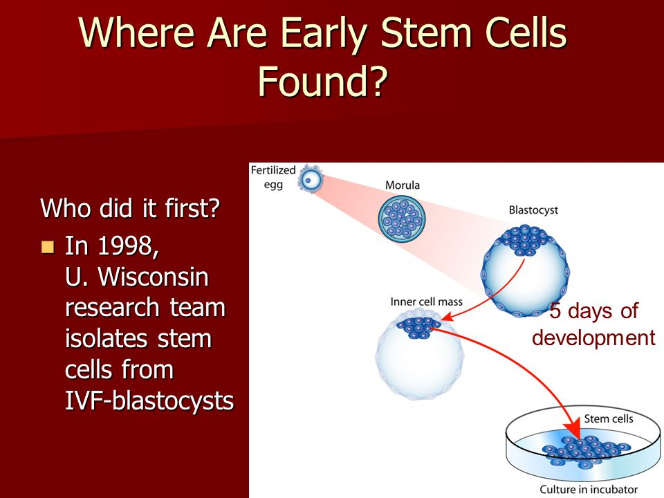 Where Are Early Stem Cells Found