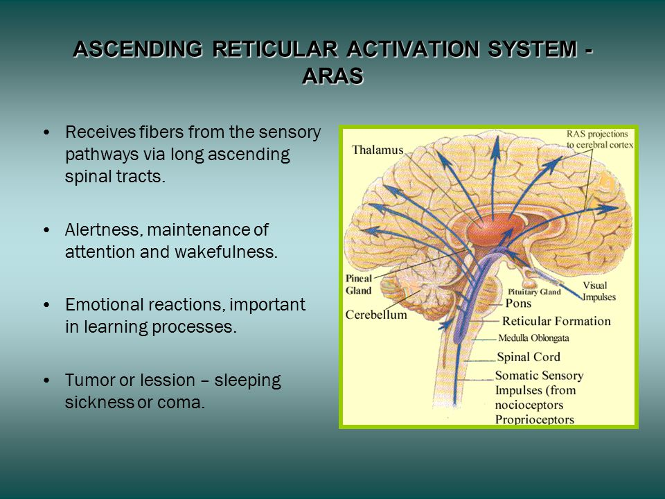 ASCENDING RETICULAR ACTIVATION SYSTEM - ARAS