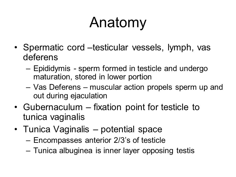 Anatomy Spermatic cord –testicular vessels, lymph, vas deferens