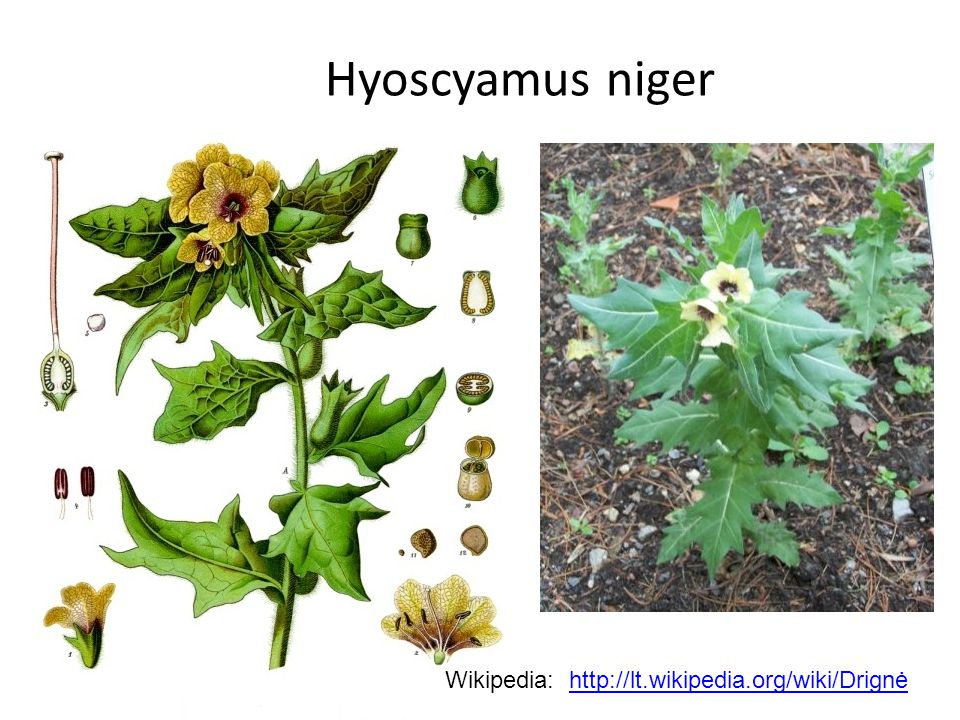 Hyoscyamus niger Wikipedia: http://lt.wikipedia.org/wiki/Drignė