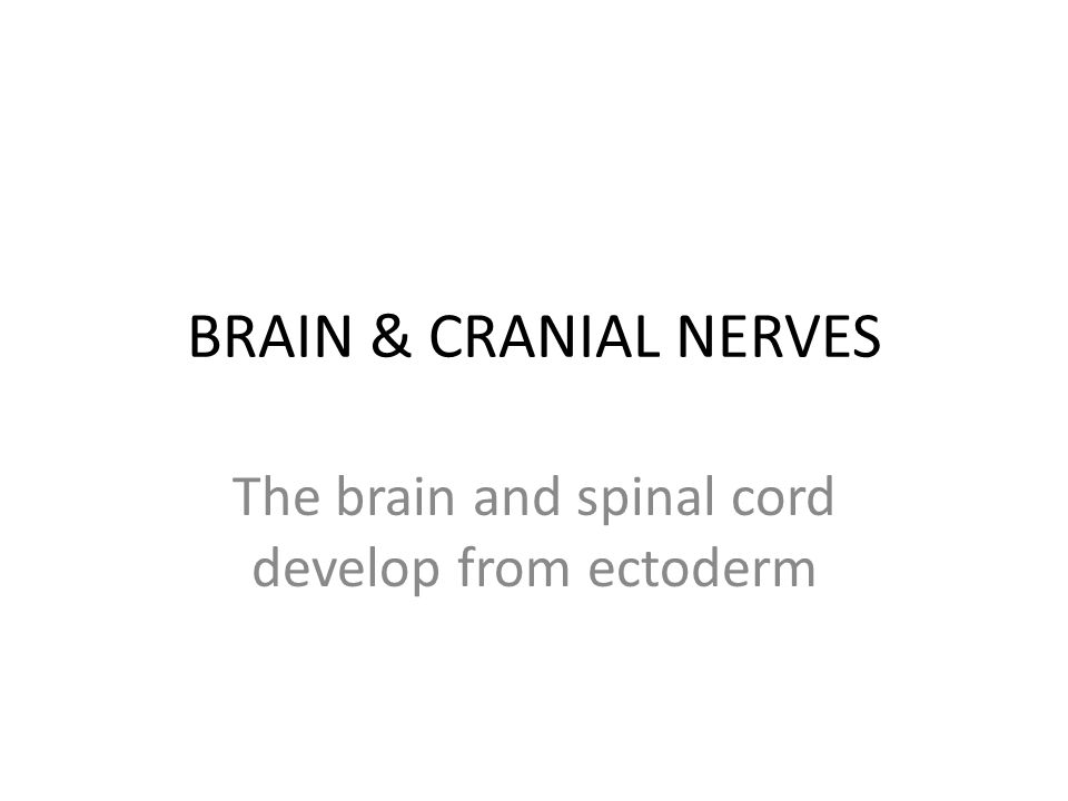 The brain and spinal cord develop from ectoderm