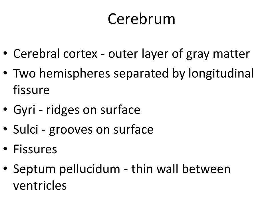Cerebrum Cerebral cortex - outer layer of gray matter