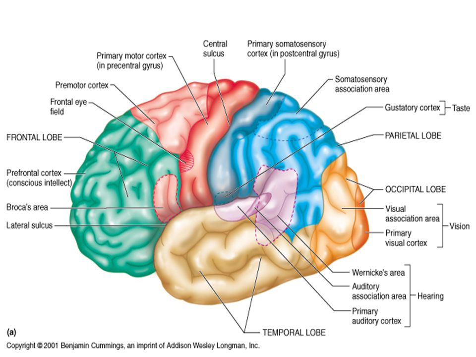 Lobes of the Brain Frontal Parietal Occipital Temporal Central sulcus