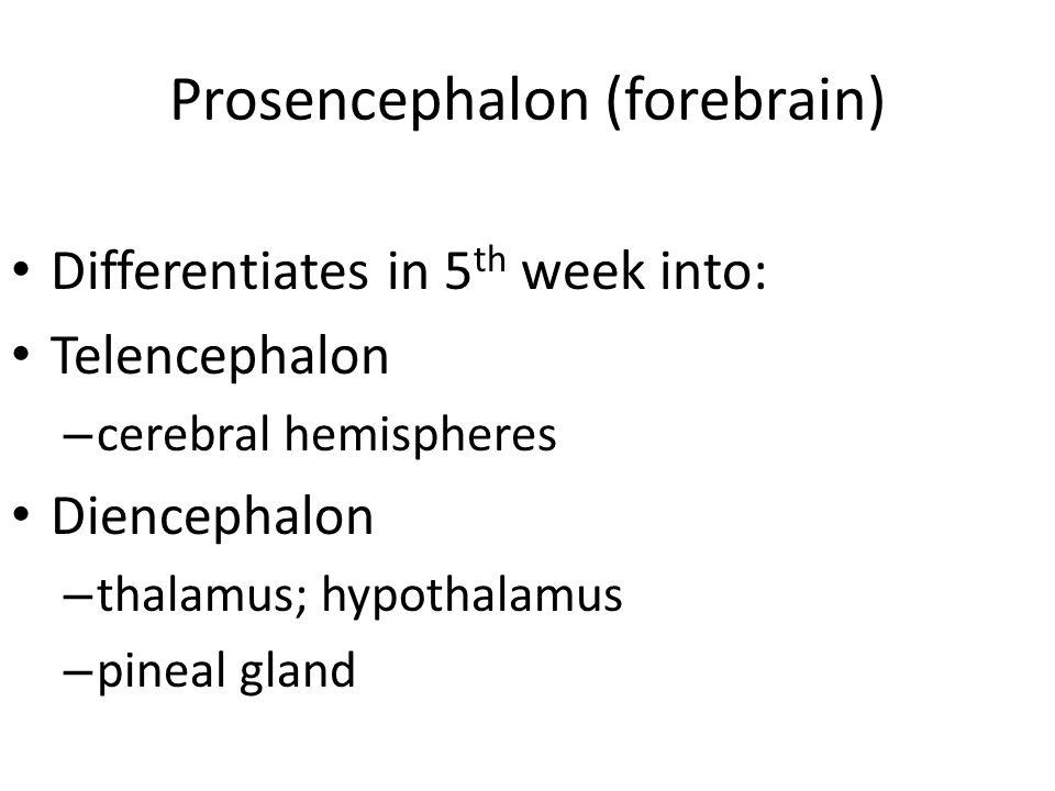 Prosencephalon (forebrain)