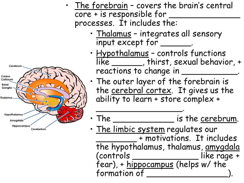 The forebrain – covers the brain's central core + is responsible for ______________ processes. It includes the: