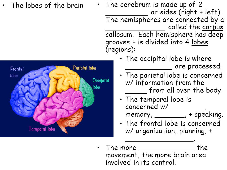 The lobes of the brain